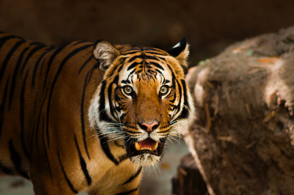 Tiger with wide eyed expression