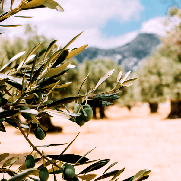 Photo of an Olive Tree for Article About the Health Benefits of Eating Extra Virgin Olive Oil for Dogs and People