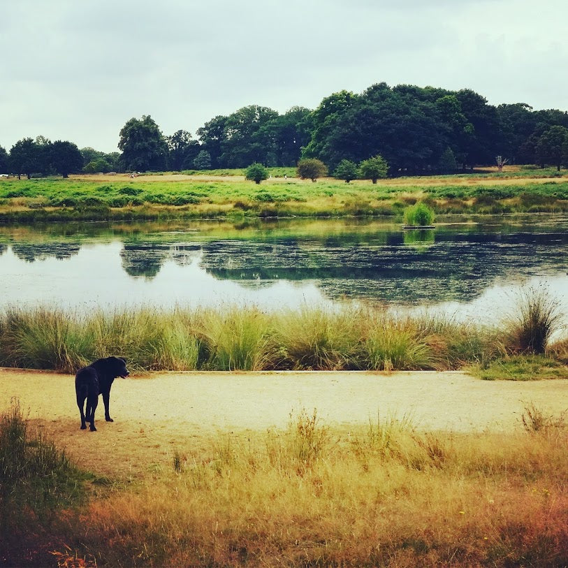 Image of Bear the black, mixed breed dog standing in front of a lake at Richmond Park.