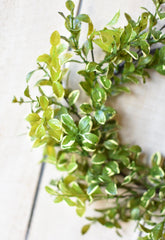 "14"" Variegated Boxwood Mini Wreath"
