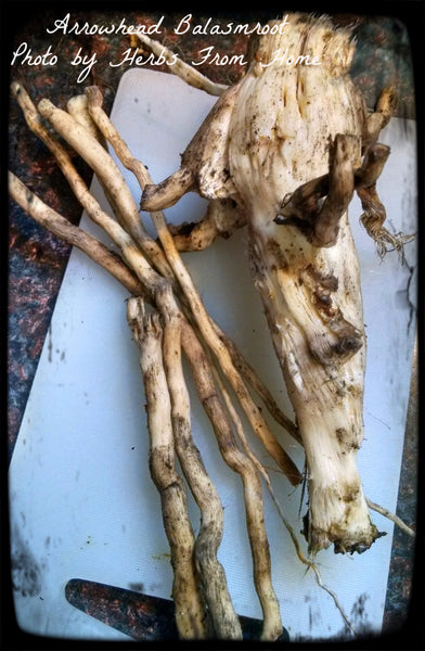 Arrowhead Balsam Root - after we stripped the bark