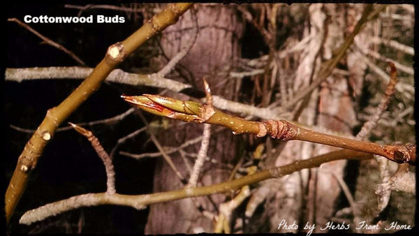 Cottonwood Leaf Bud