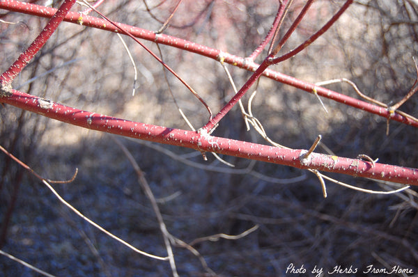 Dried Red Willow Bark