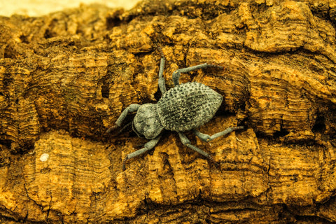 Blue Death Feigning Beetle