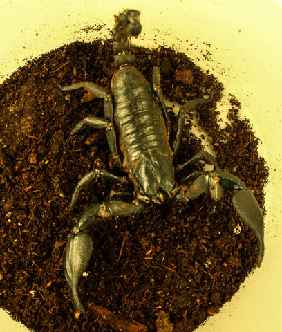 Asian Forest Scorpion - Adult