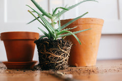 A root-bound houseplant due to terracotta pot