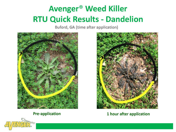 Avenger Organic Weed Control Killer Ready To Use (RTU) Avenge Weed Killer RTU Quick Results - Dandelion 1 hour after application Pre-application Buford, GA - Rocky Mountain Bio-Ag