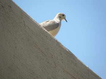 INQUISITIVE DOVE