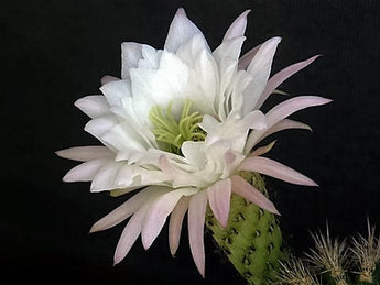 WHITE CACTUS FLOWER Note Cards