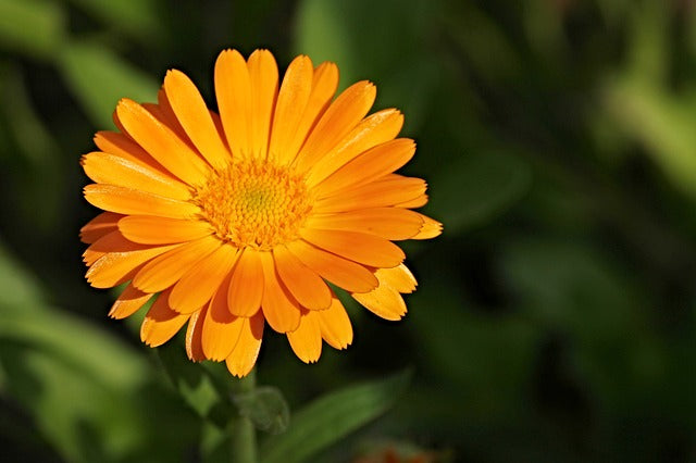 Learn how to make your own Calendula Oil infusion!
