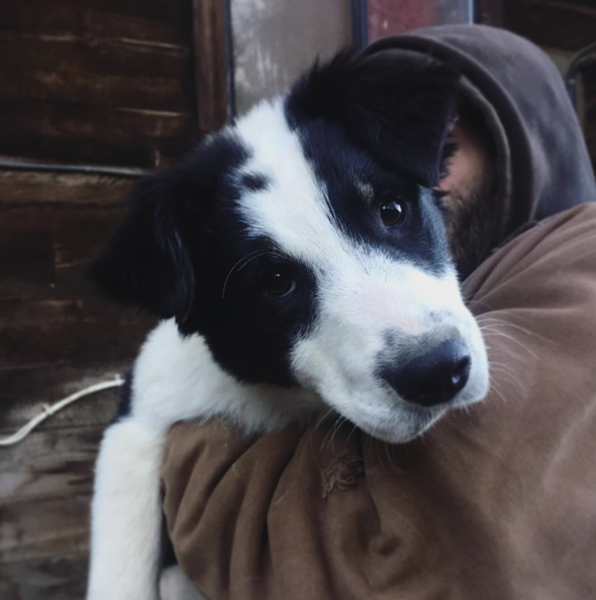 Rescue puppies bored collie mix