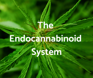 CBD and the endocannabinoid system.