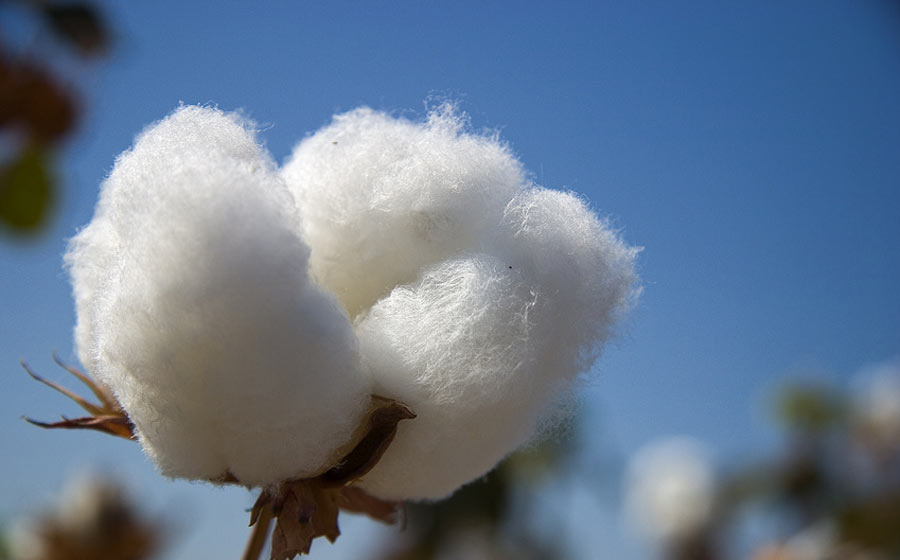 Pima Cotton- Here is why you should choose it!