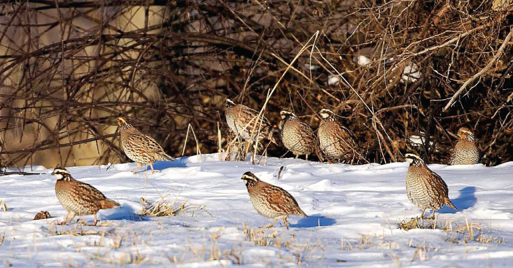 TRIAD APPROACH TO BOOSTING QUAIL AND PHEASANT POPULATIONS