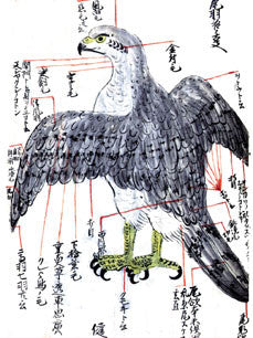Falconry Uncommon: ancient Japanese Falconry