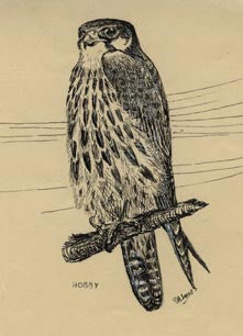 Shaheen: a falconer's journal from Turkey – Han House Publishers