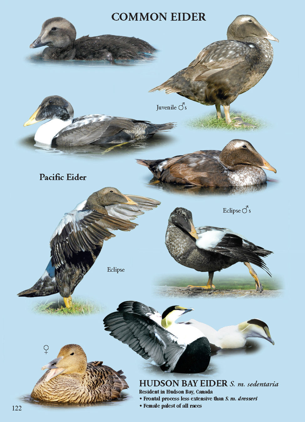 North American Ducks, Geese & Swans: identification guide