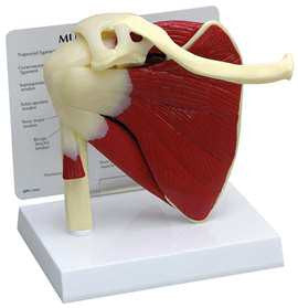 GPI Anatomicals 70812 Muscled Shoulder Model - Artxmedical