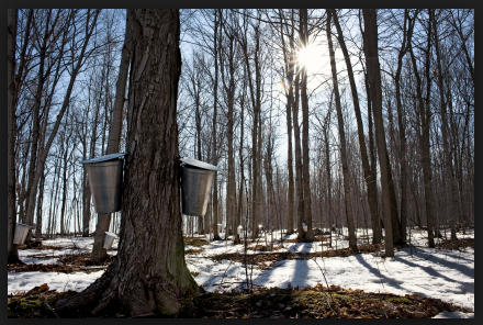 Tapping Maple Syrup in the winter months