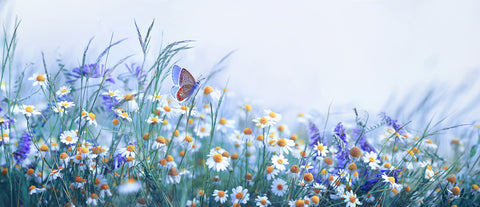 chamomile plant and a buterfly