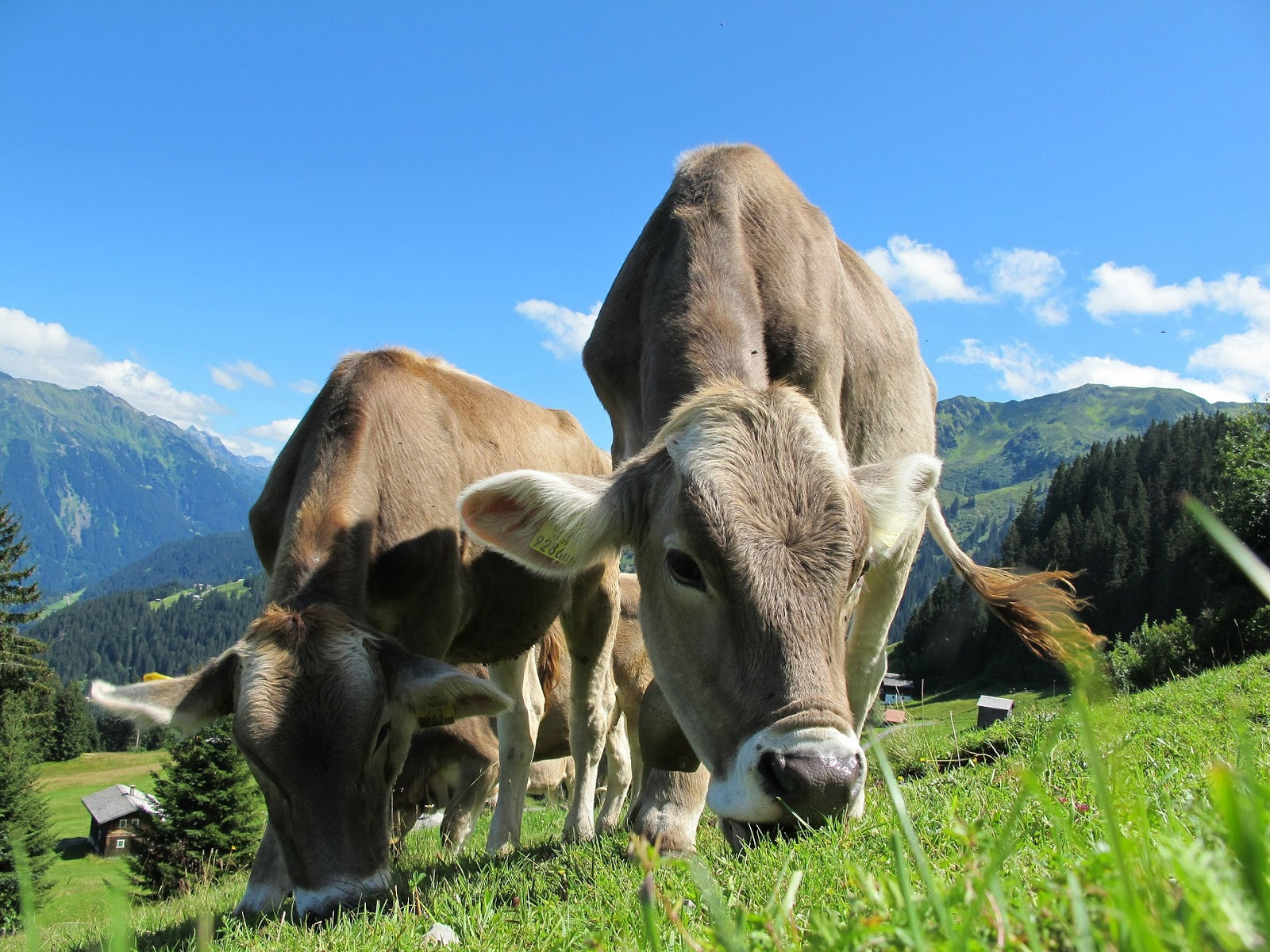 Herbs for inflammation: Cows grazing on grass in a pastoral setting