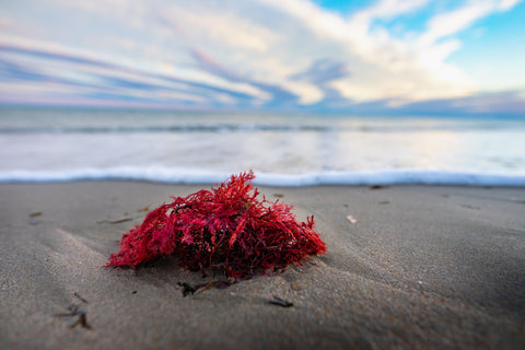 red seaweed on the beach