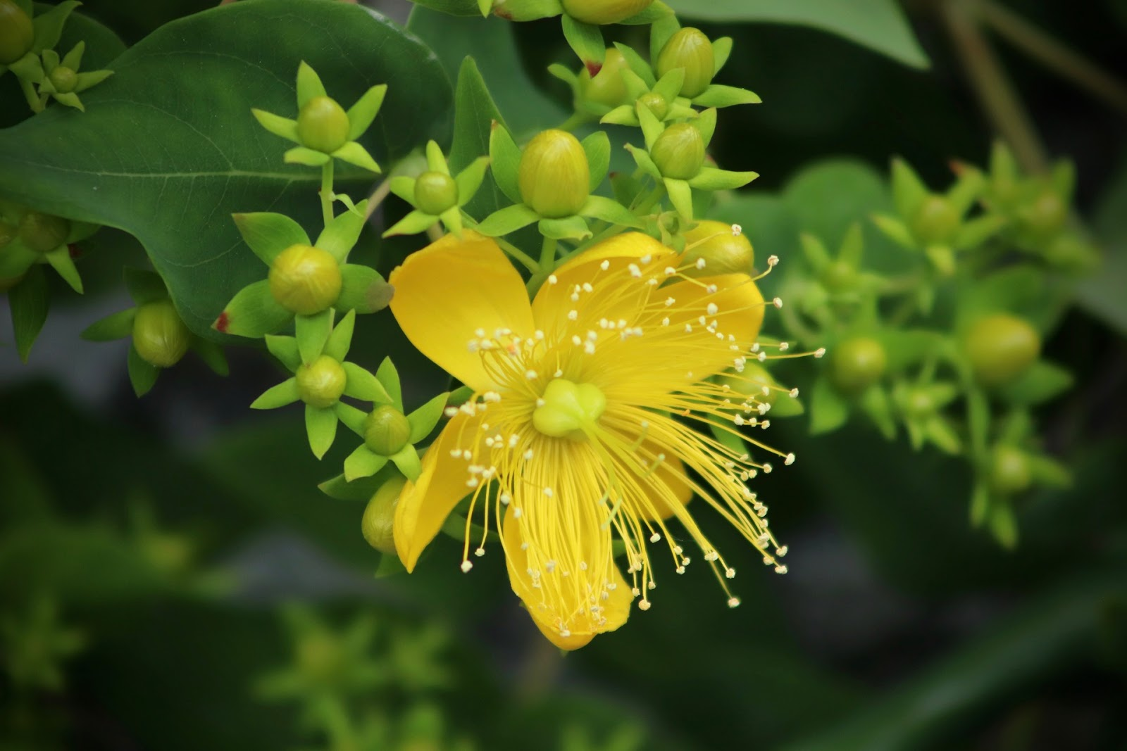 Menopause supplements: St. John's wort