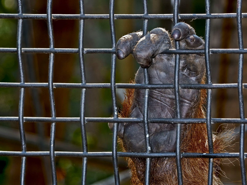 Orangutans in captivity are kept safe and healthy by their human caretakers