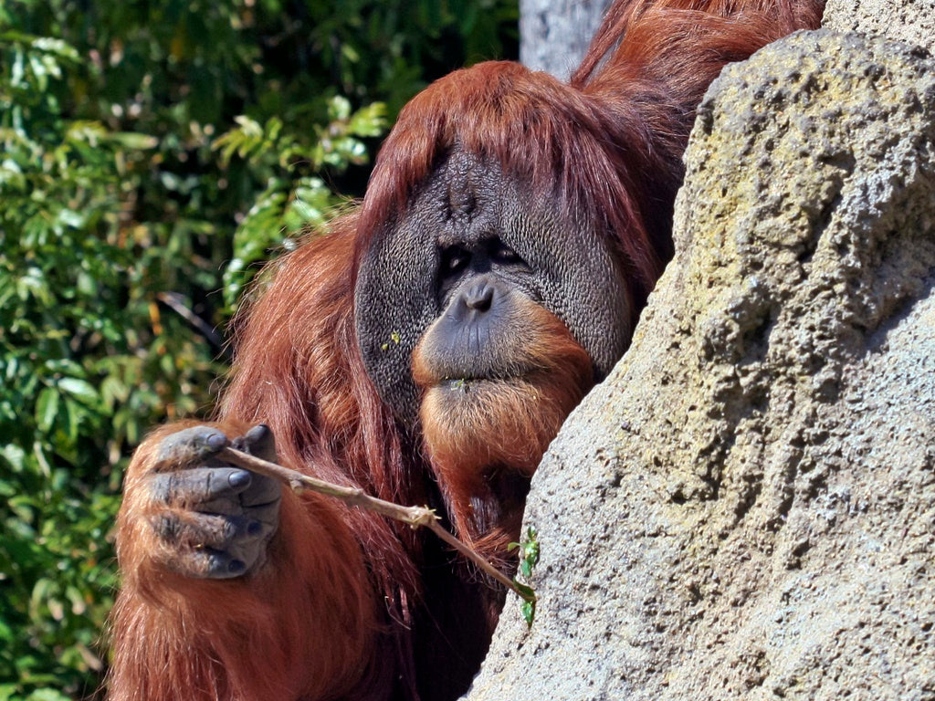 Orangutans are known to use tools to help them complete tasks