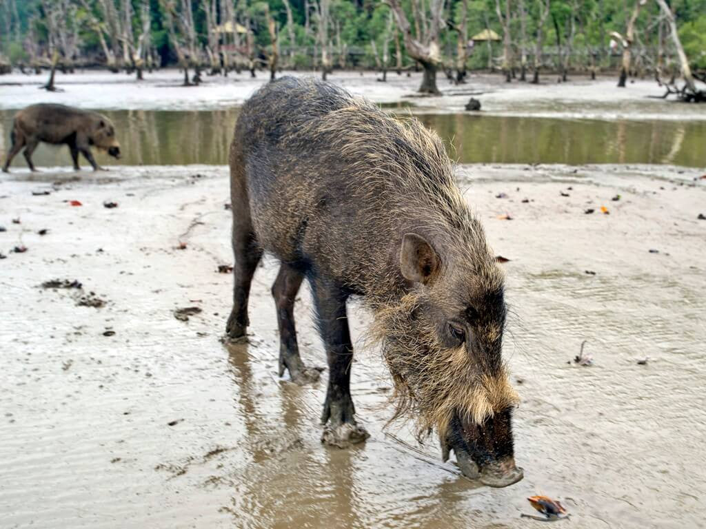 Muddy bearded boars