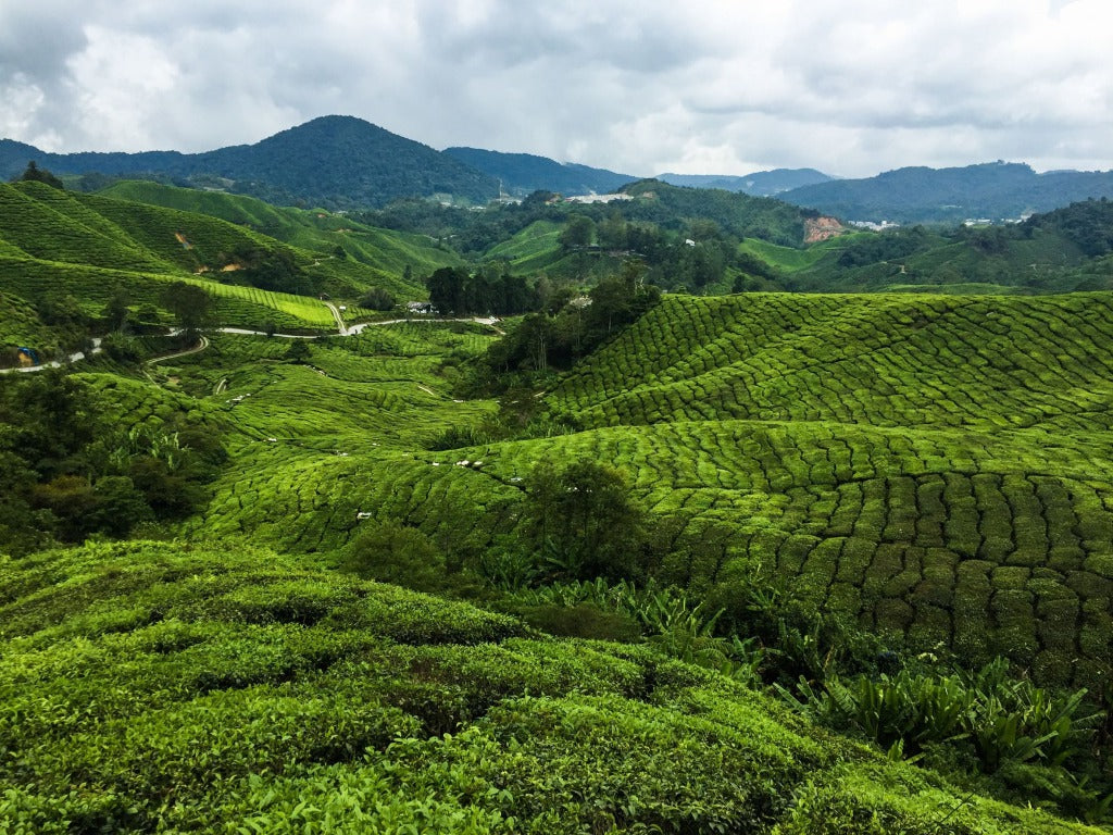 Cameron Highlands: A Visit To The Tea Plantations
