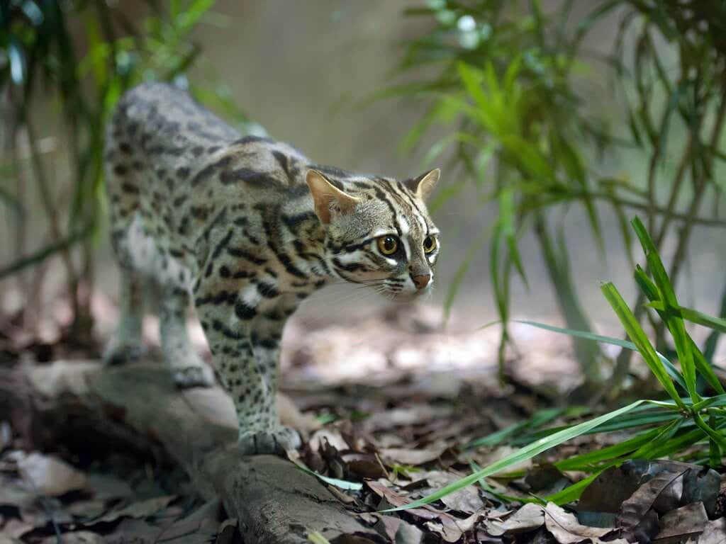 Exotic Leopard cat