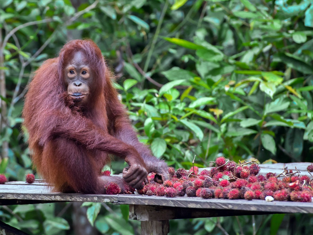 Orangutans are knowledgeable in the art of peeling fruits with hard shells and skins