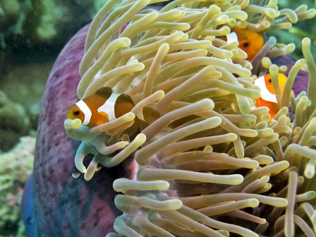 Clownfish residing in a sea anemone