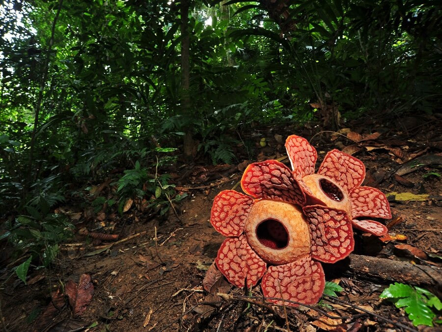The world's largest flower, the Rafflesia