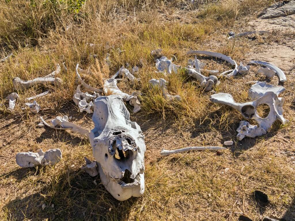 Sumatran rhino skeletal remains