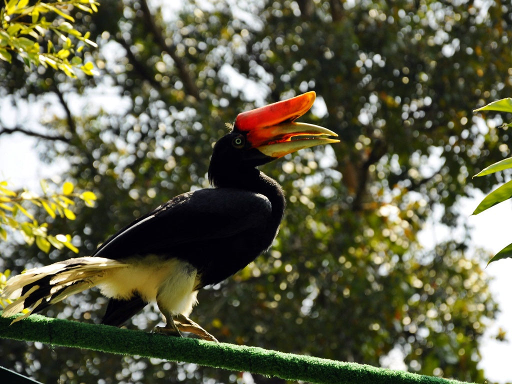 The gorgeous Sarawakian hornbill