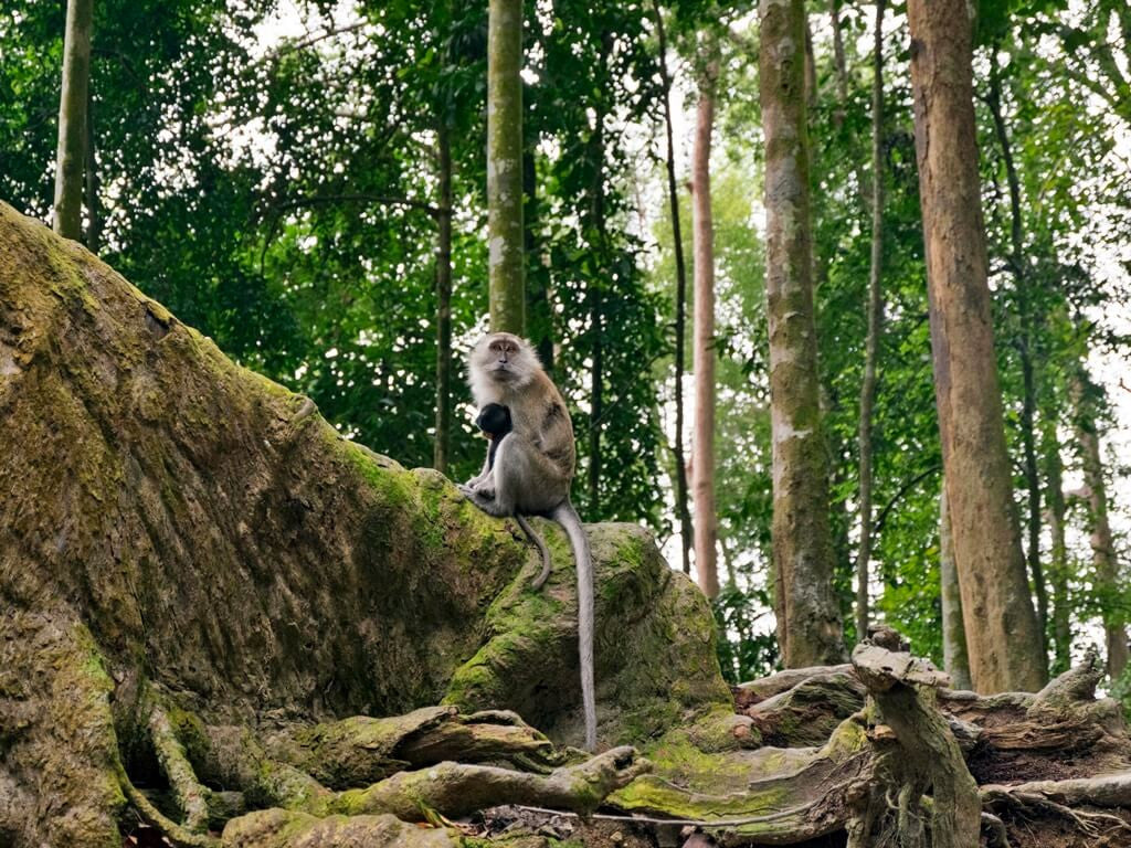 Monkey resting on buttress roots