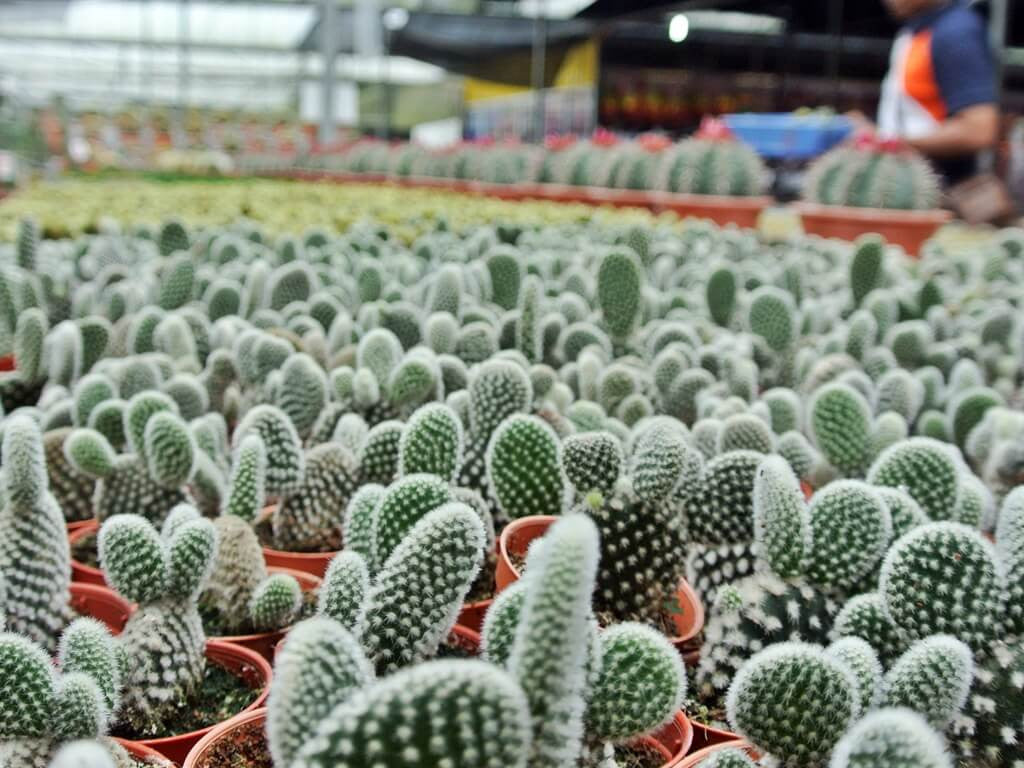 A vista of cacti