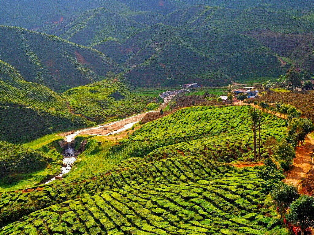 Rolling hills covered with tea plants