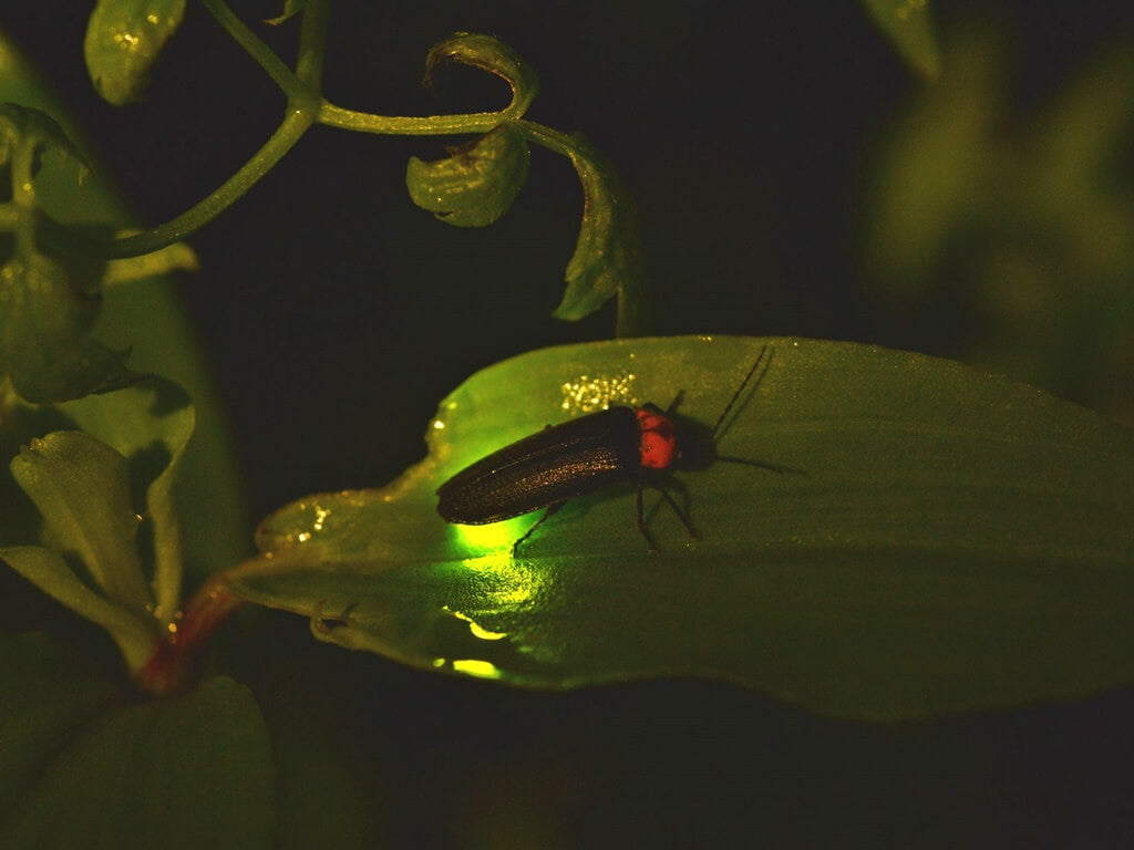 Firefly Resting On A Leaf
