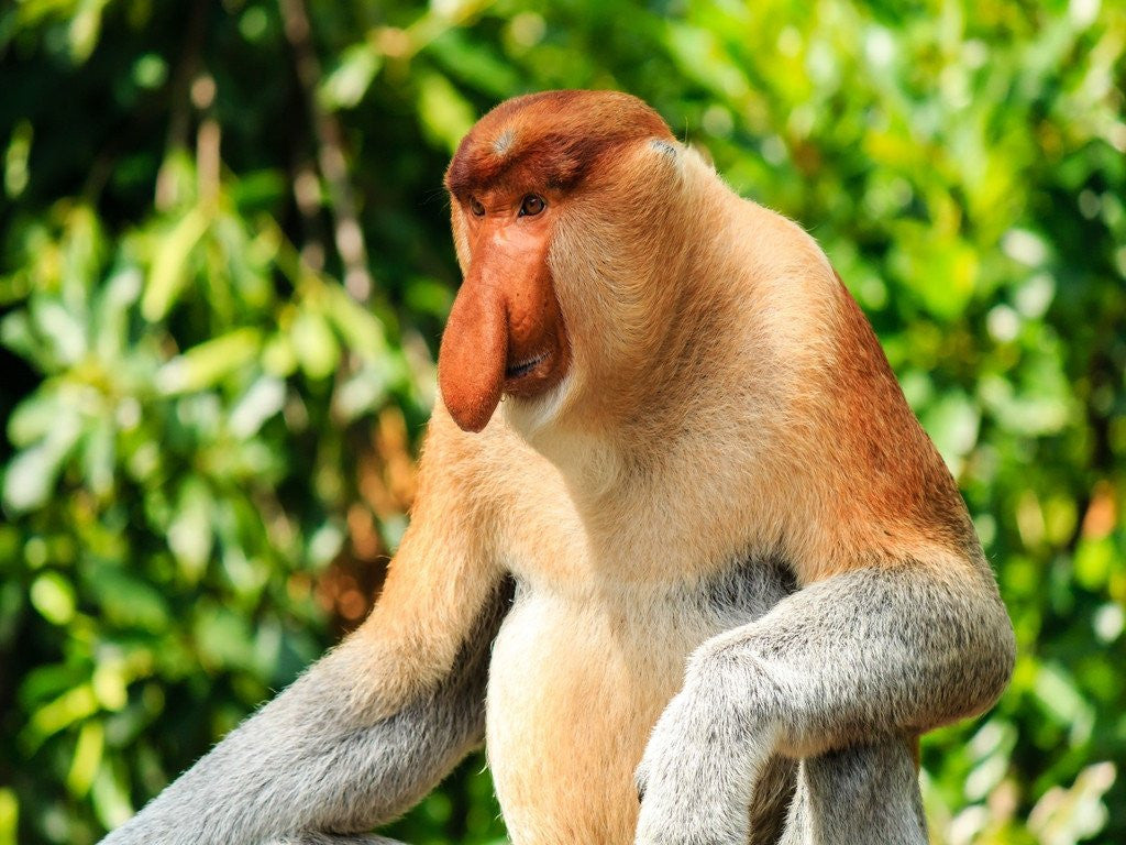 Pot-bellied, pendulous-nose proboscis monkey