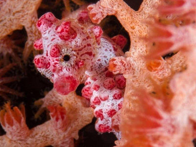 Bargibanti Pygmy Seahorse photoed in Derawan Islands