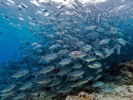 Big school of Jack fishes at Mabul Island underwater