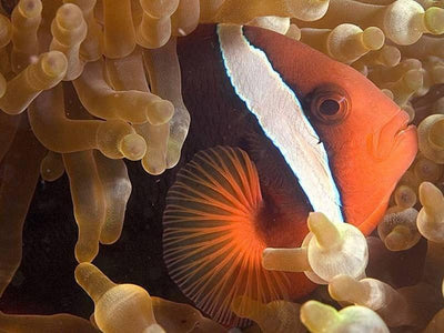 Closeup of clownfish in sea anemone at Pulau Tioman