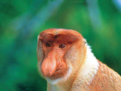 Closeup of proboscis monkey in Bako National Park