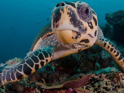 Closeup shot of turtle in Derawan Islands