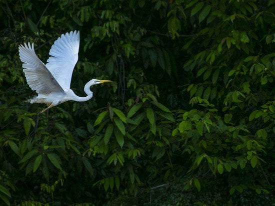 Crane flying over Kinabatangan River