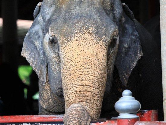 Elephant living in the Kuala Gandah Elephant Sanctuary