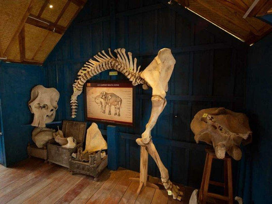 Elephant skeletons exhibited in Luang Prabang